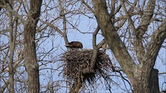 BALD EAGLE FEEDING 3 EAGLETS, BROOKVILLE, INDIANA, APRIL 5, 2016 (nsxbirder) Tags: video nest feeding baldeagle indiana eaglet brookville whitewaterriver