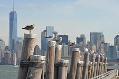 Manhattan and seagulls (Williams5603) Tags: nyc newyorkcity urban seagulls newyork statue skyline liberty island cityscape skyscrapers manhattan streetphotography statueofliberty libery freedomtower oneworldtradecenter