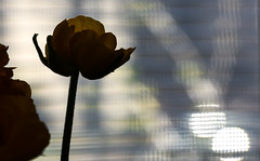 through the window (Dotsy McCurly) Tags: light shadow plant flower tree window car silhouette stem nikon focus dof shine fuzzy bokeh ranunculus screen through manual mode shining fuzz focusing manualmode stemmed d7200
