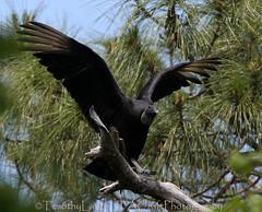 109 of 1096 (Yr 3) - Backyard guest. (Hi, I'm Tim Large) Tags: black vulture coragypsatratus florida usa america bird scavenger big tree canon 14x 400mmf4do us ef400mmf4doisusm timothylarge timlarge tacraftphotography tacrafts 365 apictureeverydayyear day everyday