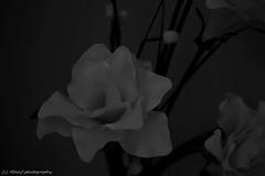 Beautiful flower. (MAMF photography.) Tags: greatbritain blackandwhite bw flower art monochrome beauty blackwhite google nikon flickr noir noiretblanc zwartwit britain negro zwart pretoebranco schwarz biancoenero googleimages enblancoynegro zwartenwit greatphotographers mamf inbiancoenero schwarzundweis nikond7100 mamfphotography