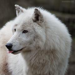 :-P (ewaldmario) Tags: white animal tongue fur mammal nikon wolf predator fell tier zunge d800 volpe animalportrait raubtier canislupusarctos 150500 ewaldmario whitewolfe