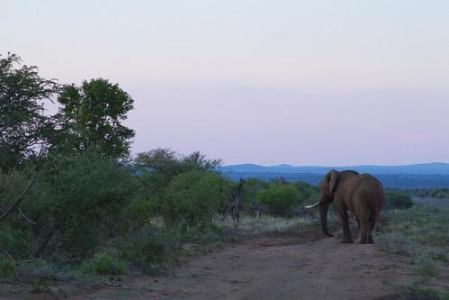 Elephant Bull , sunset , Pink horizon, blue mountains, Black Rhino Private Reserve_3642
