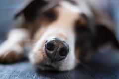 Nose (Maria Zielonka) Tags: dog dogs mutt mix hund stray hunde mischling giocco