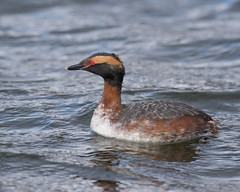 Horned Grebe (J.B. Churchill) Tags: birds us unitedstates maryland places garrett frostburg taxonomy pineyreservoir