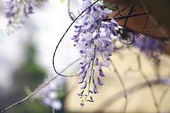 Wisteria in my home (Alfred Life) Tags: leica flower m  90mm f28 wisteria m9 elmarit  elmaritm   leicaelmaritm90mmf28 leicam9 m9p leicam9p
