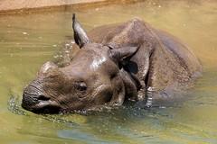 Rhino Pool Time (greekgal.esm) Tags: california water pool animal swimming mammal sandiego sony rhino urbanjungle sandiegozoo rhinoceros balboapark sdzoo indianrhinoceros greateronehornedrhinoceros sal70300g sandiegozooglobal endextinction a77m2 a77mii