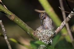 Anna's Hummingbird (Gregory Lis) Tags: britishcolumbia delta annashummingbird calypteanna nikond810 gorylis gregorylis