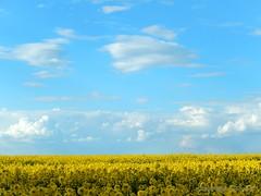 Yellow time is back [in explore] (FleurdeLotus28) Tags: sky cloud france color nature field yellow jaune landscape spring nikon quiet line ciel minimalism nuage paysage campagne printemps champ calme ligne beauce colza minimalisme eureetloir inexplore rgioncentre