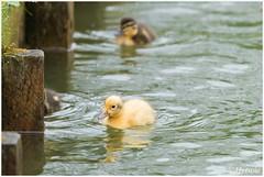 eendjes (HP009315) (Hetwie) Tags: bird nature duck nederland natuur chicks mallard vogel vijver noordbrabant helmond wildeeend watervogel wijkpark brouwhuis eendjeskuiken
