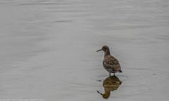 9Q6A9903 (2) (Alinbidford) Tags: lapwing cormorant buzzard greyheron littleegret redshank greatcrestedgrebe brandonmarsh alancurtis alinbidford weepingwillowbuds