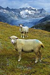 """Dessine moi un mouton, draw mw a sheep..."" No, 2028. (Izakigur) Tags: suiza swiss feel musictomyeyes myswitzerland lasuisse d700 laventuresuisse"