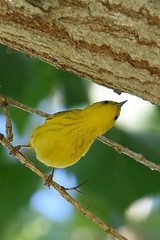 Yellow Warbler, Sepulveda Basin (Junco & roBin) Tags: california birdwatching yellowwarbler losangelescounty sepulvedabasin