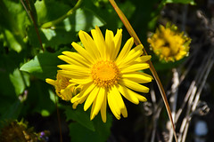 Mellow Yellow (Claire-Louise Beyga) Tags: park flower macro green yellow garden spring country victorian taken daisy april walled croxteth