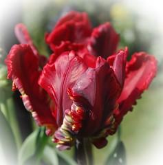 Tulipe Parrot rouge (mamietherese1) Tags: world100f earthmarvels50earthfaves phvalue macrodreams fleursetpaysages