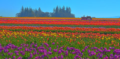 Overload (Kirt Edblom) Tags: pink flowers blue red usa plant tractor flower color green field yellow festival oregon landscape outdoors spring nikon purple tulips bright blossom outdoor scenic bloom april wife hdr johndeere springtime tulipfestival woodburn kirt 2016 woodenshoetulipfestival willamettevalley gaylene woodburnoregon easyhdr edblom nikond7100 spring2016 woodenshoefarms kirtedblom