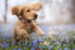 Abby (Martyna Og) Tags: park puppy spring poland smalldog funnydog cockerspaniel runningdog happydog blueflowers flowesr parkwalk runningpuppy