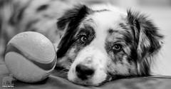 Get the hint? (Jasper's Human) Tags: ball aussie australianshepherd chuckit