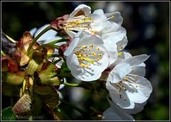 cherry blossom (Fay2603) Tags: white nature leaves yellow cherry seasons blossom outdoor jahreszeiten natur pflanze blumen gelb grn blte bume tender bltenbltter frhling kirschblte zart kirschbaum frhjahr offen staubgefse weisgelb