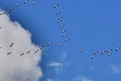 Flock of birds headed north (calspachmorris) Tags: sky nature birds flock migrate