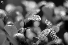 ~ Dream in Black & White ~ (Chirag Khatri) Tags: life light blackandwhite bw white black blur macro reflection love nature water leaves closeup leaf nikon experimental dof close bright bokeh live drop fresh droplet splash quests bokehworld d7200