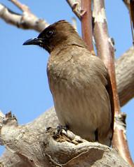 Common Bulbul (threejumps) Tags: africa morocco bulbul