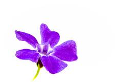 Immergrn_periwinkle (photalena) Tags: flower nature highkey vinca 7dwf