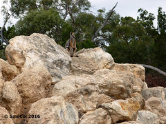 Monarto Zoo - Rock Wallaby (King of the World) (samcol6) Tags: nature animals rock lumix zoo sam south australia panasonic wallaby col 2016 monarto fz150 samcol6