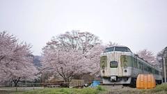 Sabizakura (koziro) Tags: abandoned japan train junk rust cherryblossom sakura discarded japanesecherry      sel55f18z fe55mmf18   7r