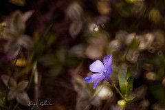 Barwinek (kinga.lubawa) Tags: flowers flower colors canon kwiaty krople kwiat kolory kolorowe canon6d