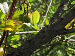 20150526_103024LC (Luc Coekaerts from Tessenderlo) Tags: tree nature public flora outdoor nobody greece creativecommons species corfu fruittree strawberrytree arbutusunedo vak grc cc0 karousades aardbeiboom spartlas coeluc vak201505corfu