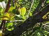 20150526_103024LC (Luc Coekaerts from Tessenderlo) Tags: tree nature public flora outdoor nobody greece creativecommons species corfu fruittree strawberrytree arbutusunedo vak grc cc0 karousades aardbeiboom spartýlas coeluc vak201505corfu