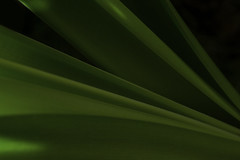 Amaryllis Leaves Shapes and Tones (Bill Gracey) Tags: light plant green nature leaves composition shadows shades amaryllis naturalbeauty tones macrolens hippeastrum
