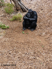 Monarto Zoo - Chimp's (samcol6) Tags: nature animals lumix zoo sam chimp south australia panasonic chimpanzee col 2016 monarto fz150 samcol6