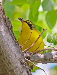 CAC037450a (jerryoldenettel) Tags: bird nm warbler 2016 passeriformes woodwarbler passerine kentuckywarbler geothlypis parulidae curryco nedhoukpark geothlypisformosa
