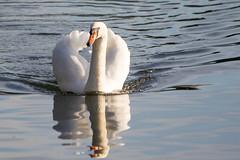 Swan on Clumber Lake 27122015-8568 (davets26) Tags: swan swans clumber clumberpark clumbernationaltrust