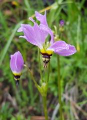Beautiful wildflower in Pinnacles