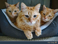 Our Gang (gtncats) Tags: pets canon bed border indoor frame loved autofocus petbed greatphotographers orangetabbies felinefaces photographyforrecreation frameitlevel01 frameitlevel02 frameitlevel03 frameitlevel04 frameitlevel05 canong16 canonpowershotg16 infinitexposure