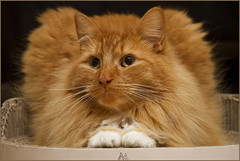 I'm the King of the Castle ... (Jan Gee) Tags: red orange ginger chat fluffy fluff gato gata billy katze gatto kater tomcat rode roter