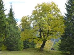 Unter dem Ahornbaum grast ein Pferd. (Swassermatrose) Tags: forest germany bayern deutschland flora outdoor laub natur pflanze pflanzen landschaft wald pferd wanderweg allgu 2015 vorgebirge hinterstein ahornbaum mischwald