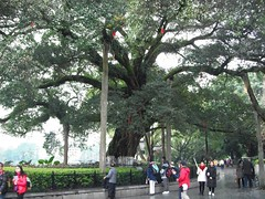 , , , Banyan tree, Yonghu lake, Guilin, Guanxi China (Ronnie_ta) Tags: china guilin  guanxi  yonghulake