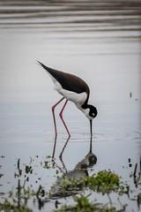 SanJoaquinWildlife-12 (rskim119) Tags: ca lake reflection bird nature water animal pond nikon san feeding outdoor eating wildlife joaquin marsh tamron sanctuary irvine rancho stilt 70300 pecking irwd d3300