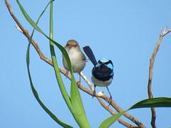 Malurus cyaneus 12 (barryaceae) Tags: nature island harbour reserve australia nsw coffs muttonbird ausbird ausbirds