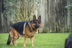 Dog Garden8 (FurtiveOutsider) Tags: dog pet dogs beautiful garden fun shepherd german alsatian alsation gsd