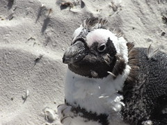 RIMG0077 (travelfan123) Tags: penguin boulder bay south africa iro mohawk irokesenschnitt pinguin südafrika