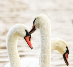Swans (nigdawphotography) Tags: white birds wildlife swans heads hdr avian necks plumage wildfowl
