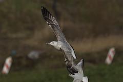Caspian gull / Larus cachinnans / Pontische meeuw 3cy (Herman Bouman) Tags: caspiangull laruscachinnans 3cy pontischemeeuw