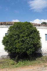 _ITA2544 (Edson Grandisoli. Natureza e mais...) Tags: planta interior flor campo urbana odor araçoiaba murraya murta fragrância arborização regiãosudeste arvoreta