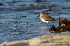 Lone Dunlin (Calidris alpina) (gcampbellphoto) Tags: winter bird beach nature coast wildlife northernireland dunlin calidrisalpina shorebird wader northantrim gcampbellphoto