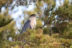 Coopers Hawk (kconnelly03) Tags: newjersey nj brigantine forsythe coopershawk edwinbforsythenwr